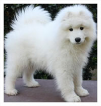 Miniature Samoyed Puppies For Sale Samoyed puppyMiniature Samoyed Puppies